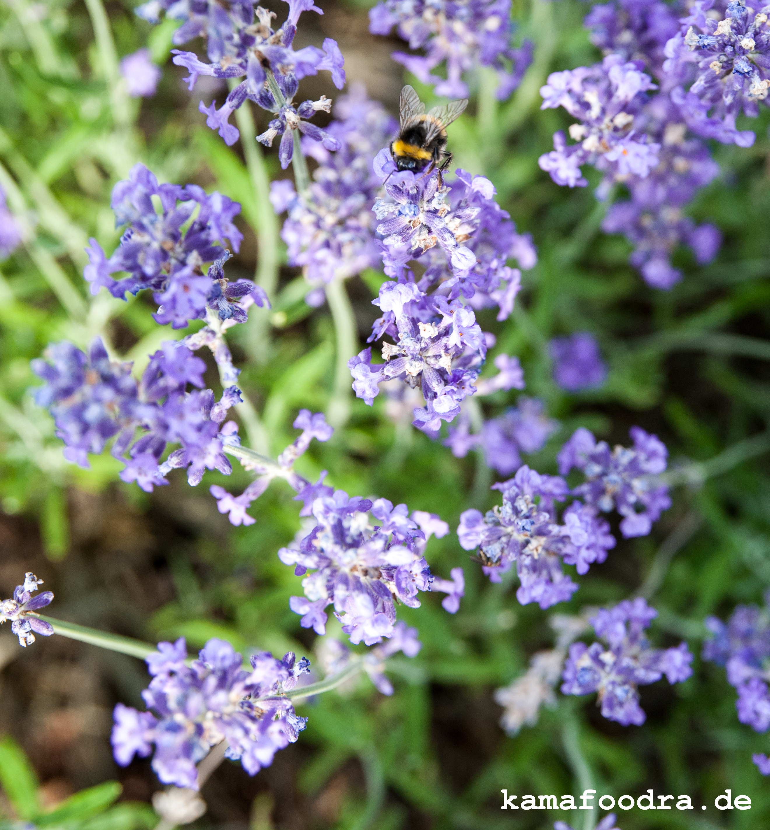 Lavendel1 (1 von 1)